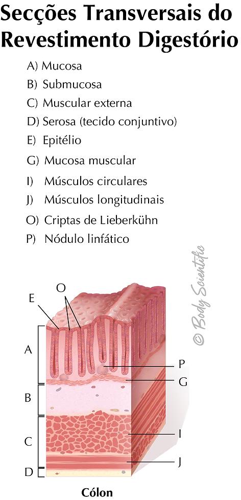 Revestimento Digestório (Cólon)