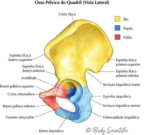 Osso Pélvico do Quadril (Vista Lateral)