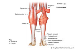 Lower Leg Posterior