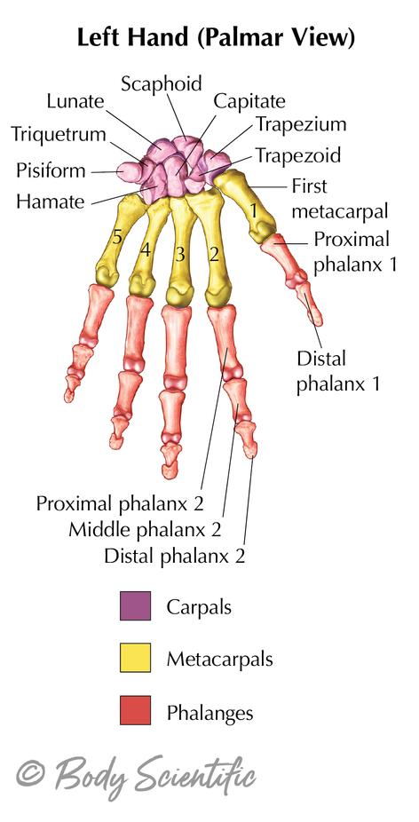 Left Hand (Palmar View)