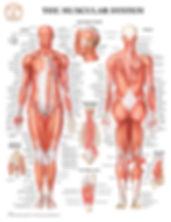 BS195_Muscular_20x26.jpg