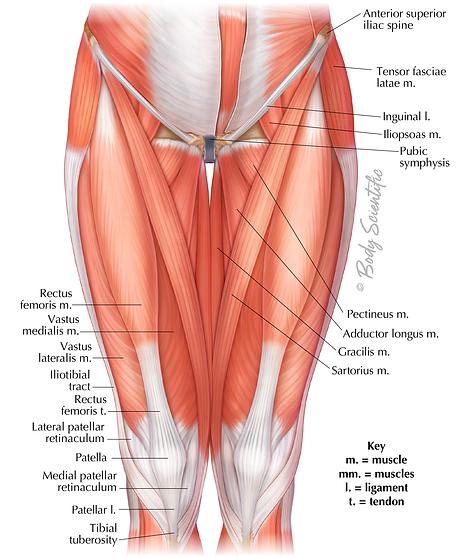 Anterior Hip & Thigh
