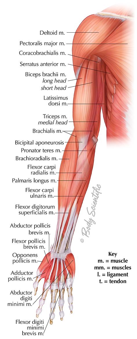 Anterior Arm (Superficial)