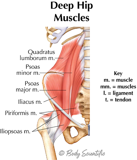 Deep Muscles of the Hip