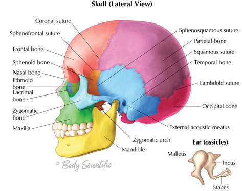Skull (Lateral View) and Ossicles