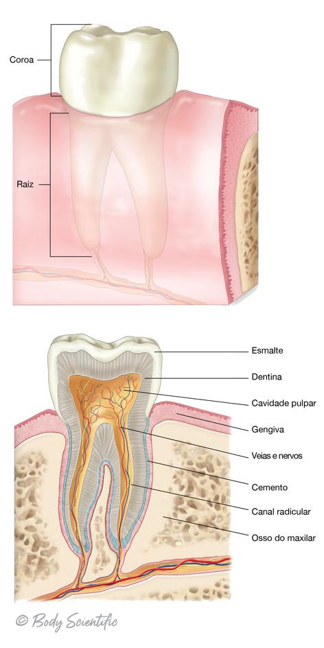 Secção Transversal do Dente