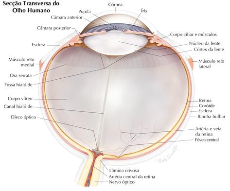 Secção Transversa do Olho Humano