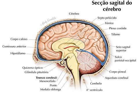 Secção Sagital do Cérebro