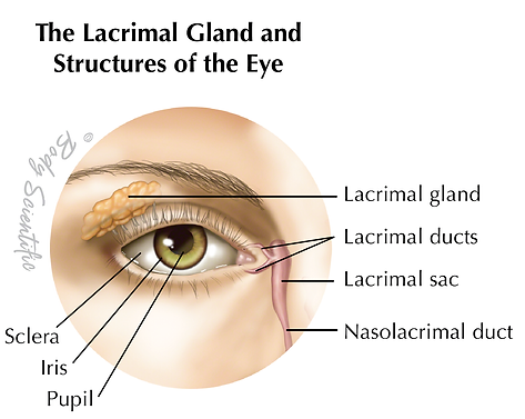 The Lacrimal Gland and Structures of the Eye