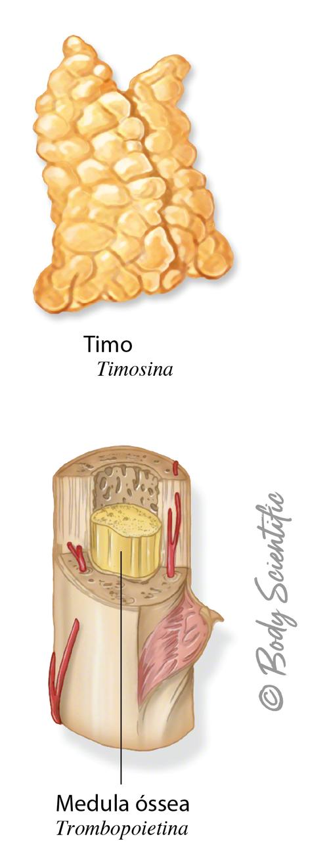 Timo e Medula Óssea