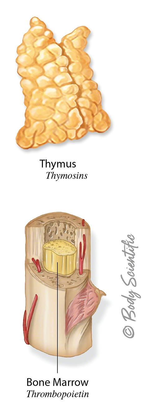 Thymus and Bone Marrow