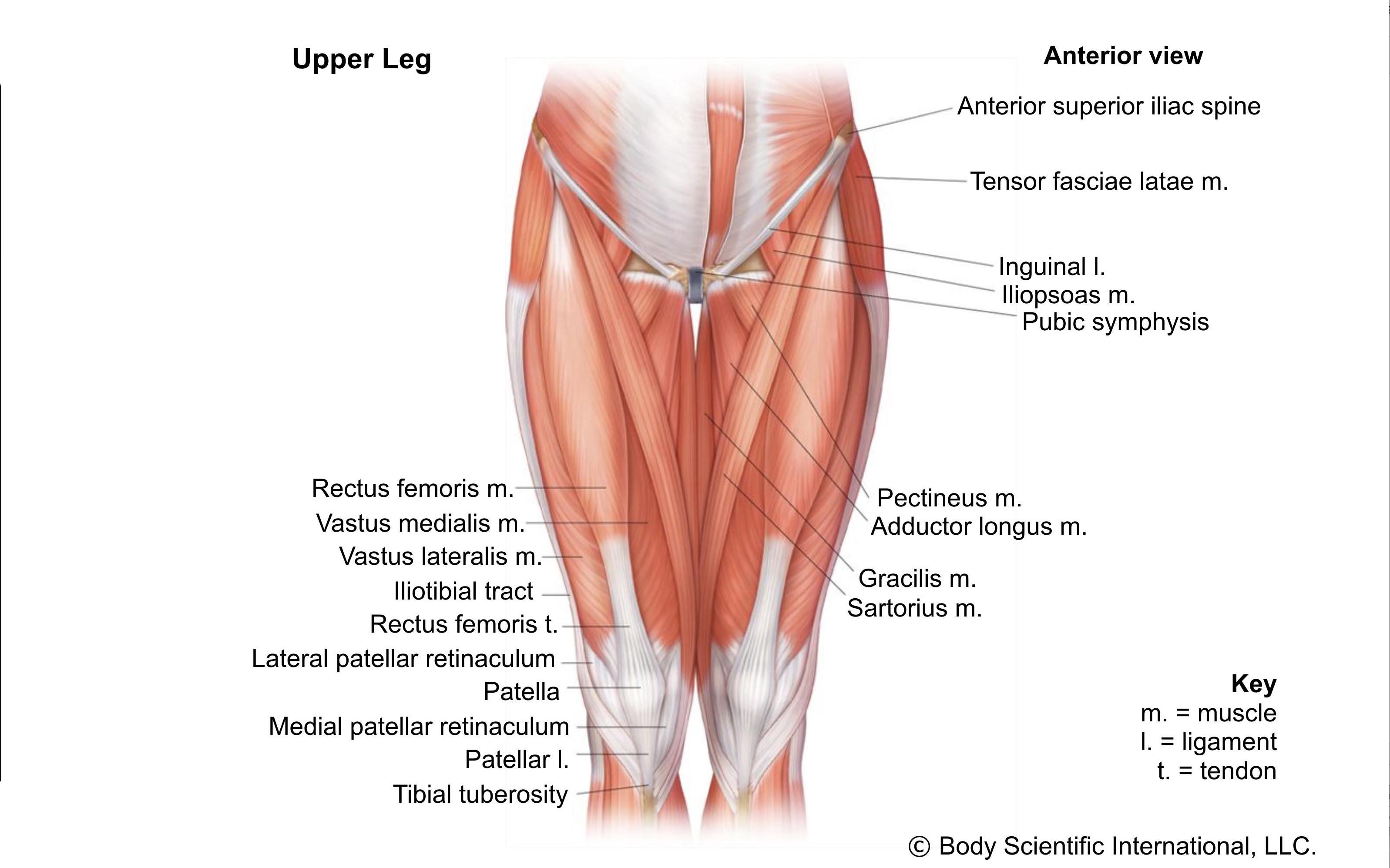 Upper Leg Anterior