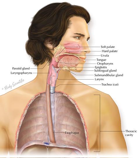 Oral Cavity and Pharynx