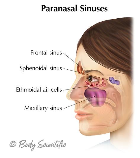 Paranasal Sinuses (Lateral View)
