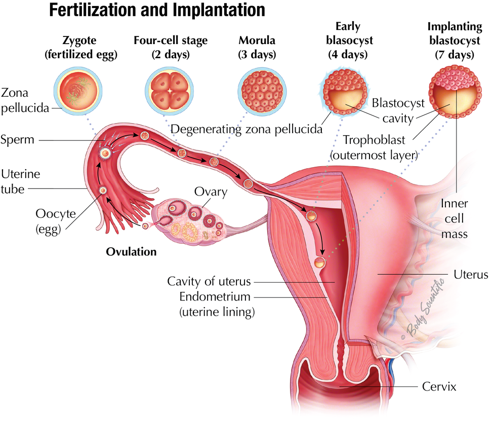 Uterus & Implantation