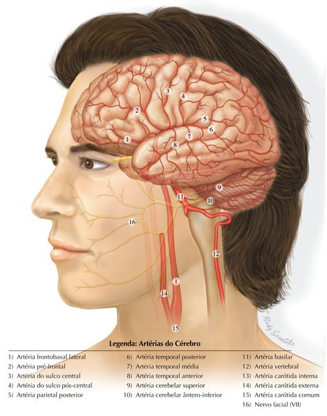 Artérias do Cérebro