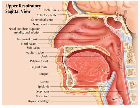 Upper Respiratory Sagittal View