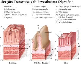 Seção Transversais de Revestimento Digestório