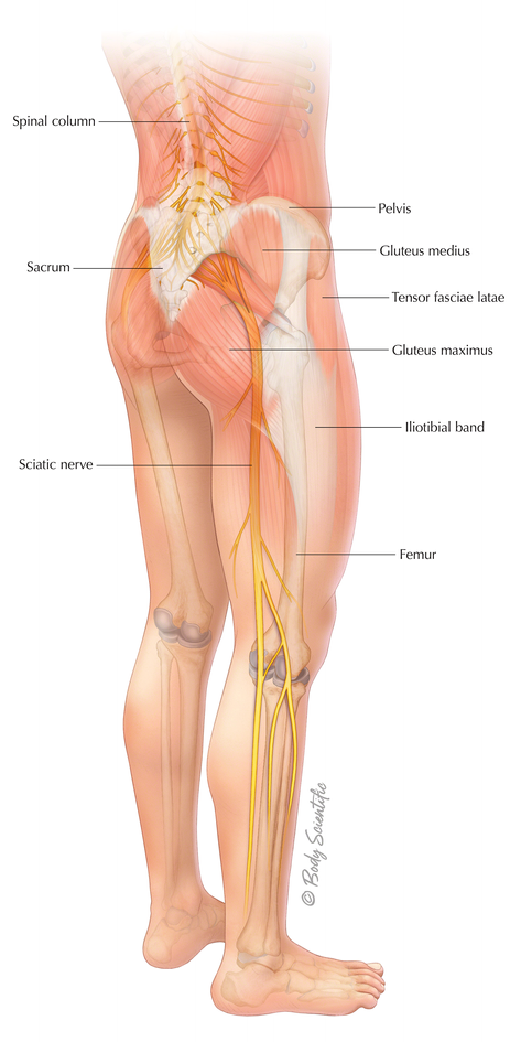 Muscles, Nerves, and Bones of the Low Back