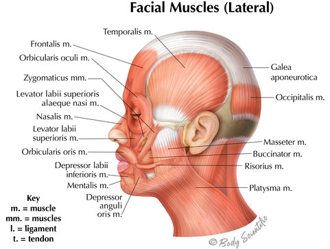 Facial Muscles Lateral View