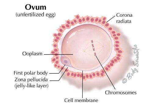 Ovum (Unfertilized Egg)