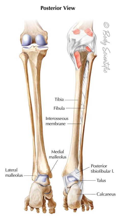 Lower Leg (Posterior View)