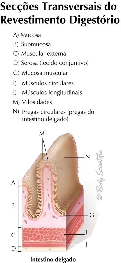 Revestimento Digestório (Intestino Delgado)
