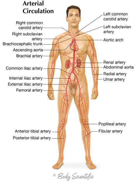 Arterial Circulation