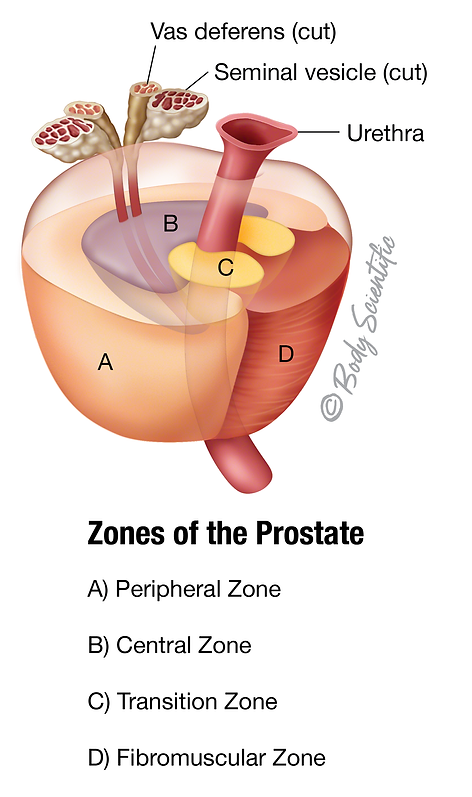 Zones of the Prostate