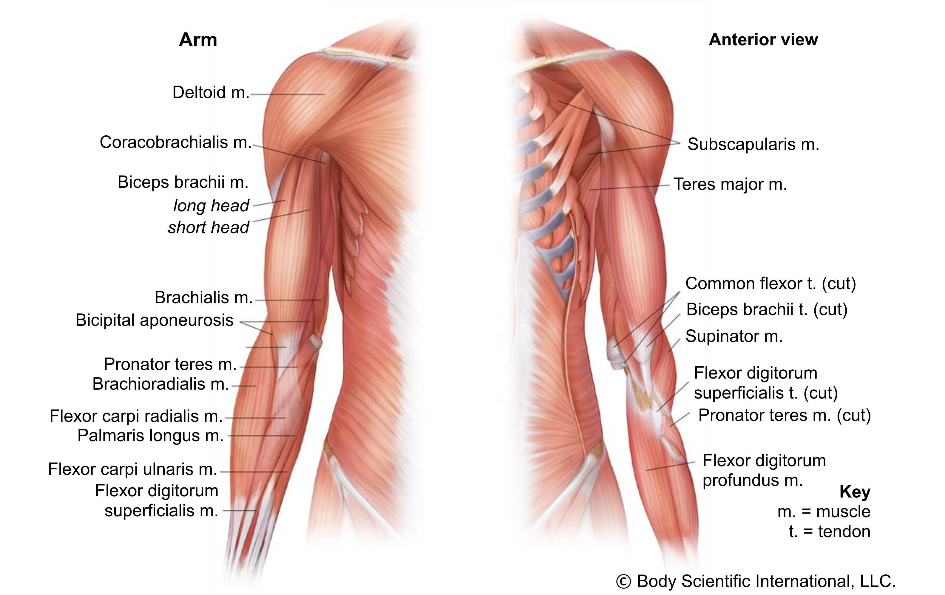 Arm Anterior