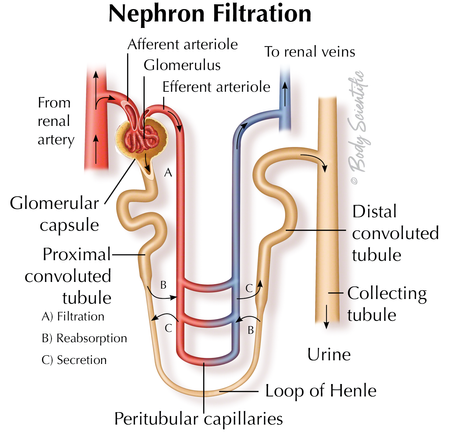 Nephron Filtration