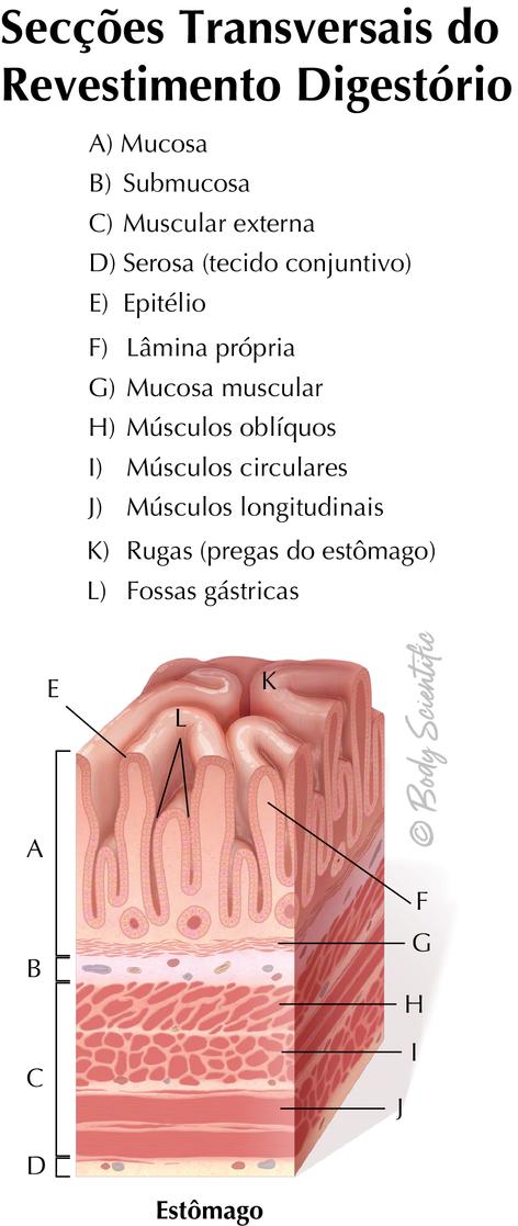 Revestimento Digestório (Estômago)