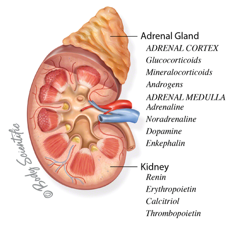 Adrenal Gland and Kidney