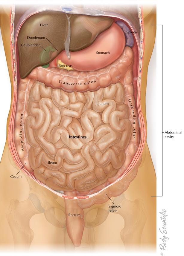 Stomach, Pancreas, and Intestines