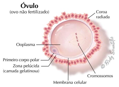 Óvulo (Ovo Não Fertilizado)