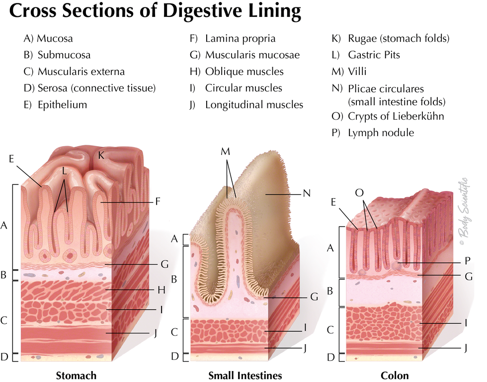 Cross Section of Digestive Linings