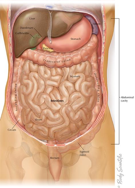 Lower Digestive Anatomy