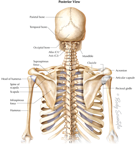 Head and Upper Back (Posterior View)