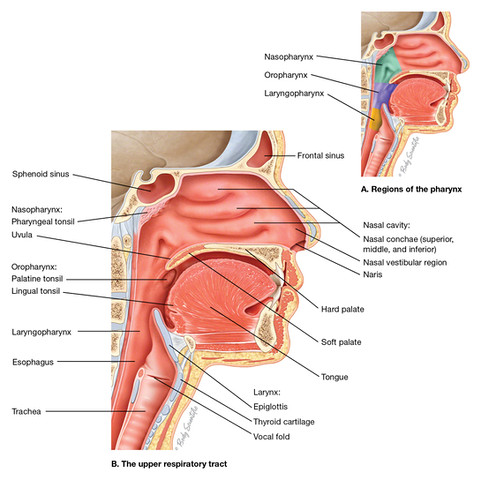 Sagittal Pharynx