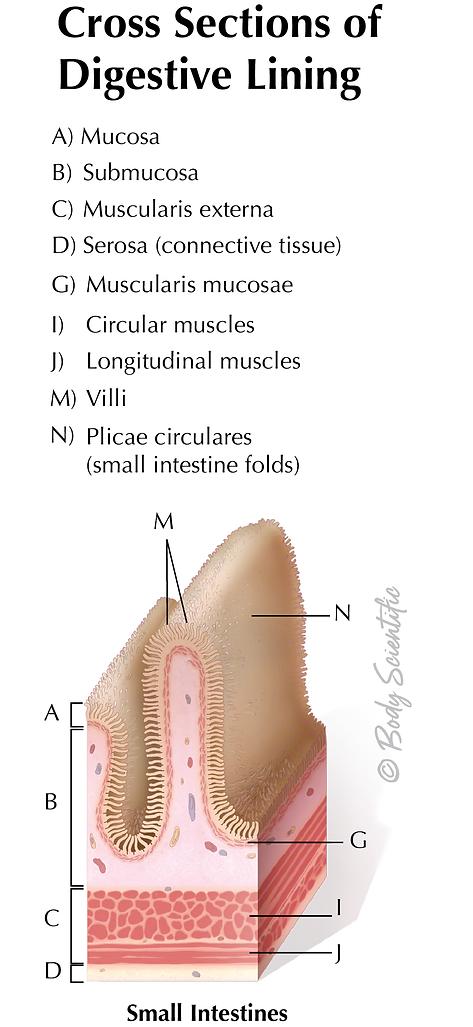 Digestive Lining (Small intestines)