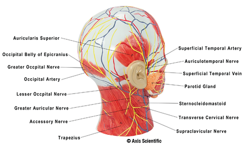 Posterolateral View