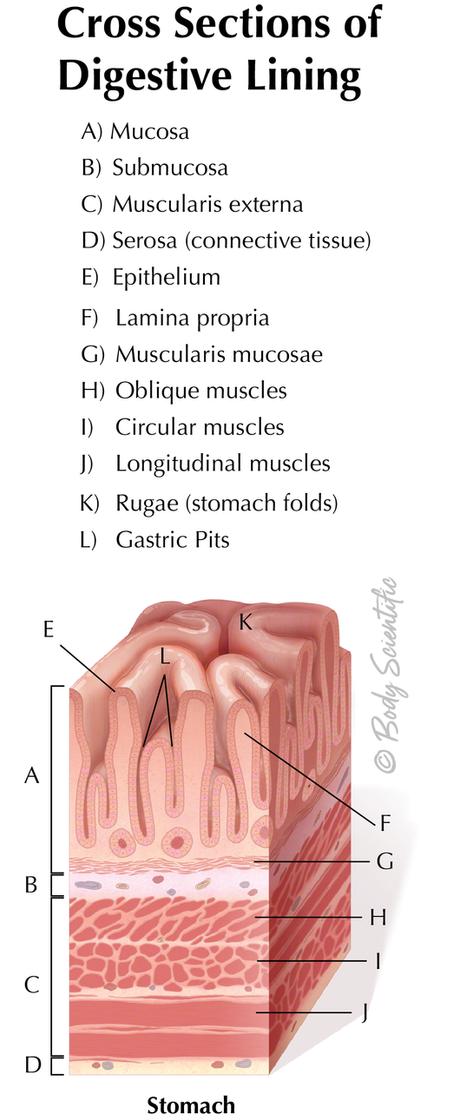 Digestive Lining (Stomach)