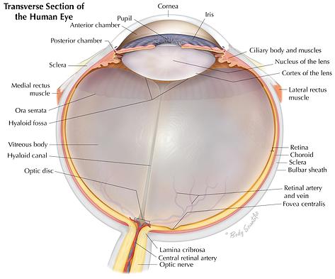 Human Eye Cross Section