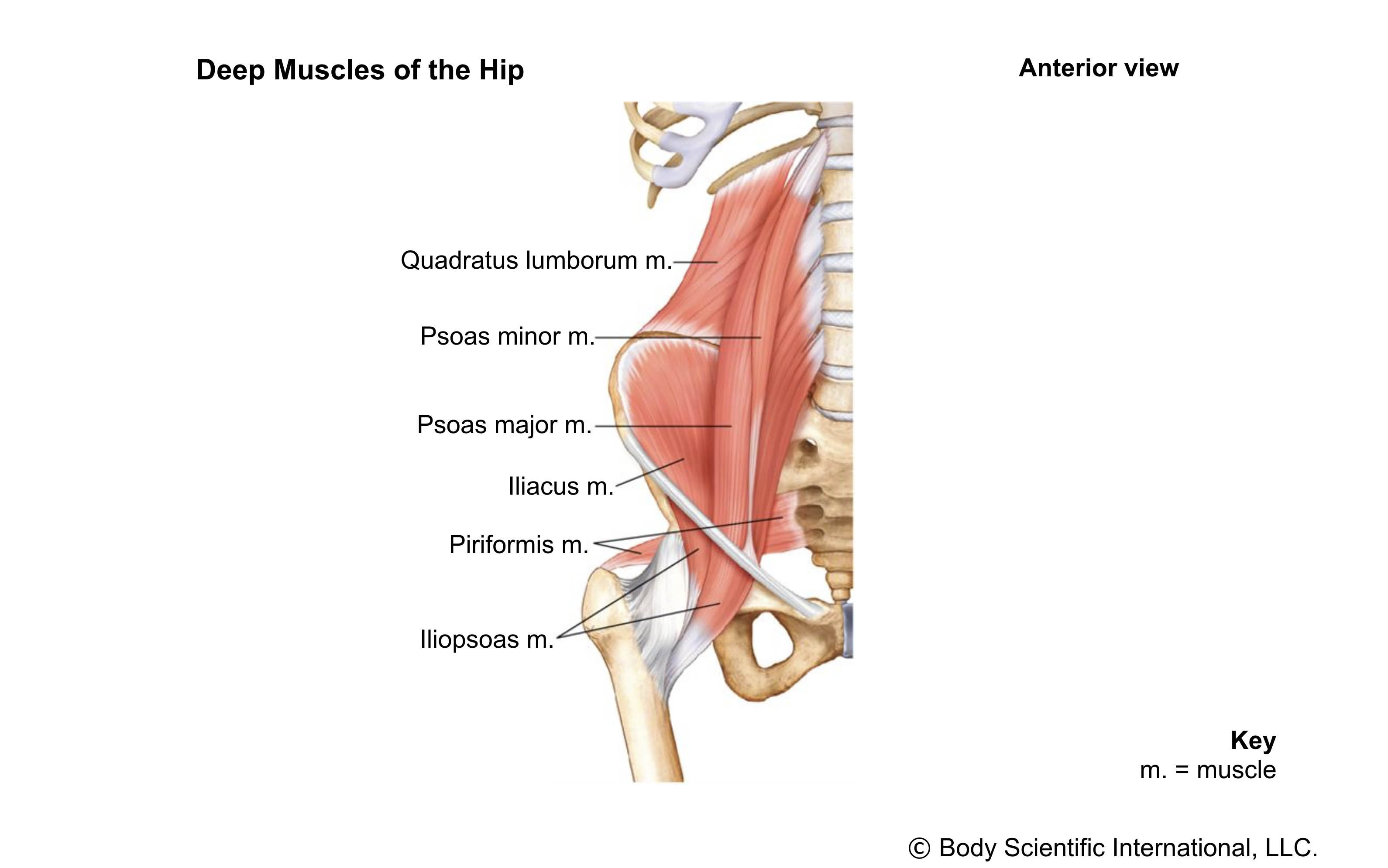 Deep Hip Muscles