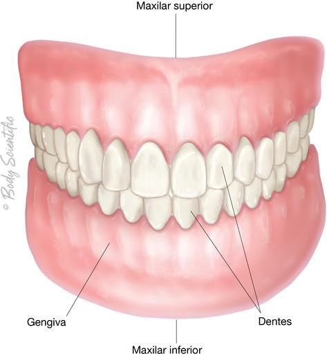 Dentes e Gengivas