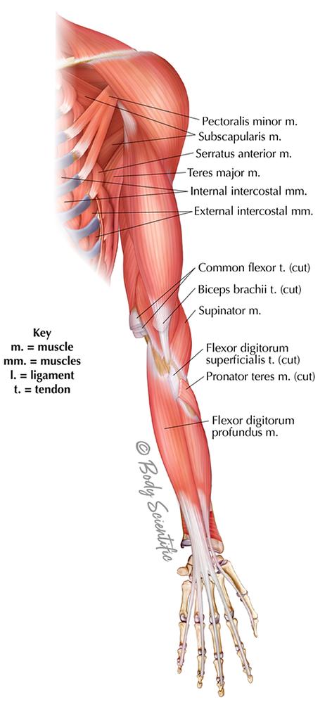 Anterior Arm (Deep)