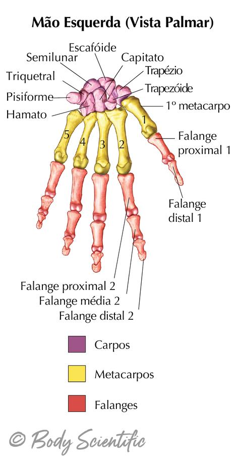Mão Esquerda (Vista Palmar)