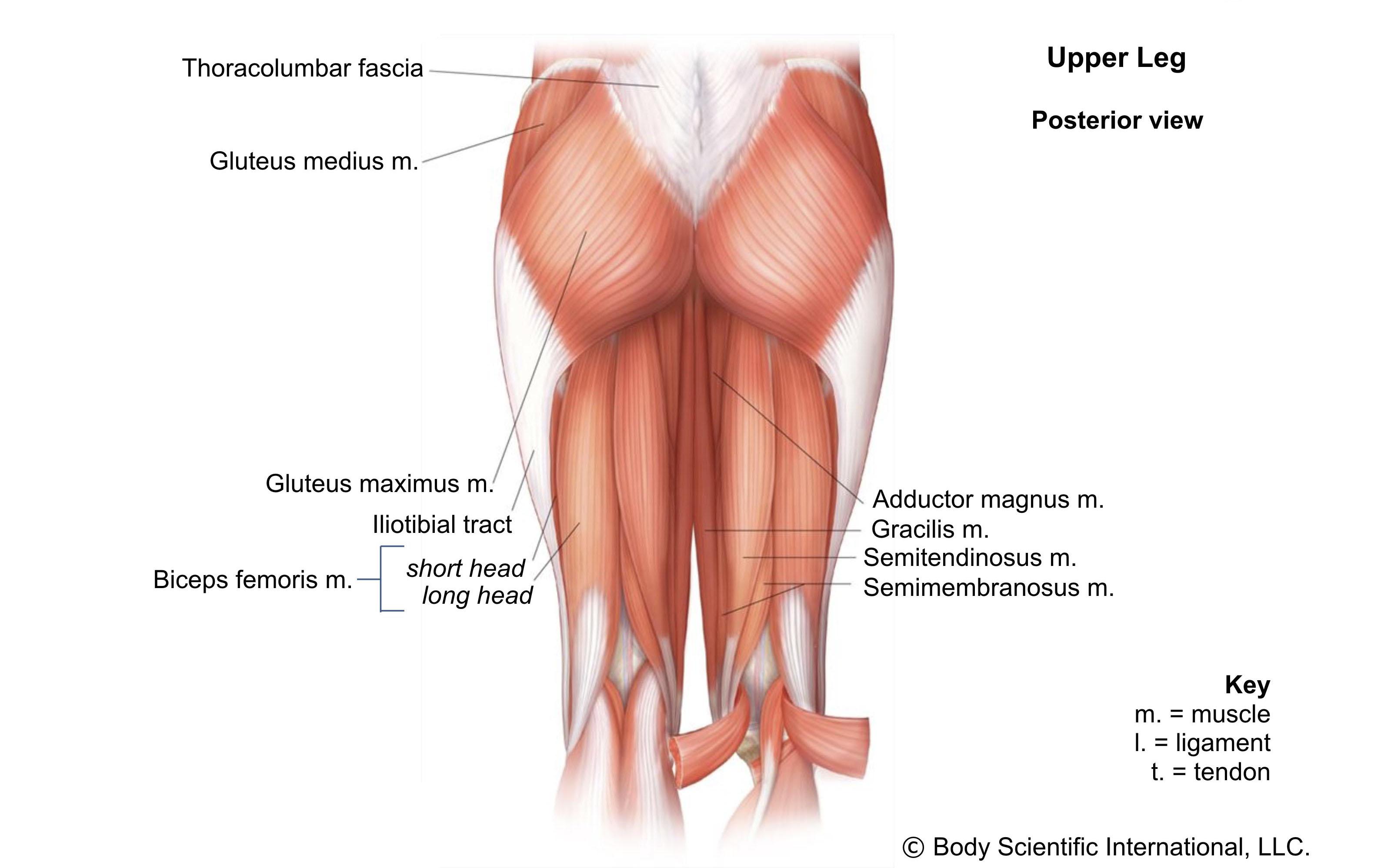 Upper Leg Posterior