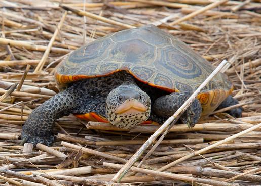 Cape Cod Turtle