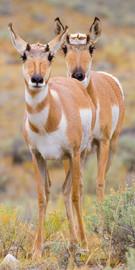 Yellowstone Antelope